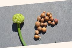 Pěstování česneku z pacibulek